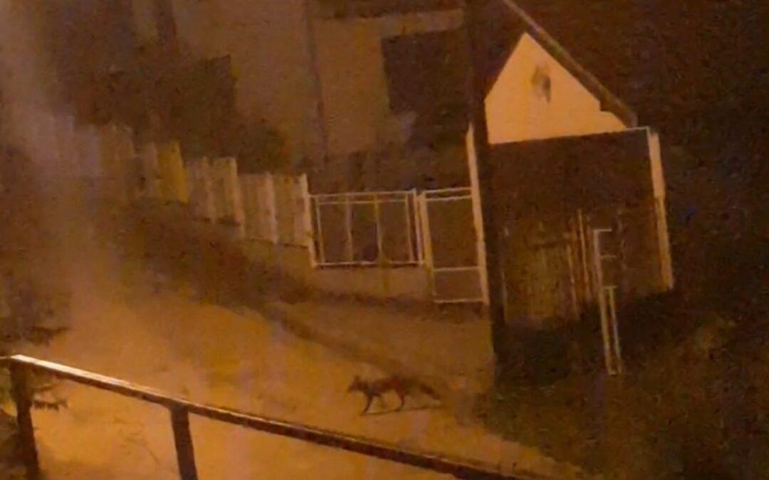 Divlje životinje se odomaćile u prigradskim naseljima